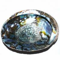 Green Abalone Muschel natur ca. 15-18 cm