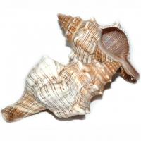 Fasciolaria Trapezium Muschel - Meeres..