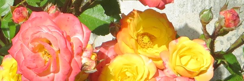 Rosen Äthrische Öle