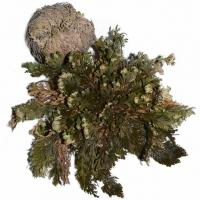 Rose von Jericho ca. 5 cm - 6 cm
